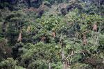 Oropendula nests