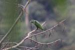 Parrot [manu_0323]