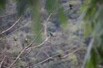 Parrot [manu_0324]
