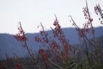 Red flowers [manu_0332]