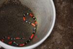 Coral snake [manu_0352]