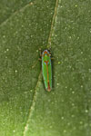 Green, orange, and blue leafhopper
