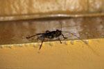 Longhorn beetle (Cerambycidae family)