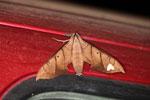 Leaf-moth