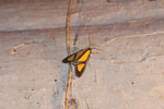 Yellow and brown moth