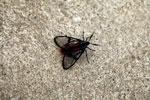Black moth [manu_0448]