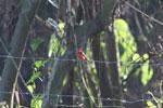 Vermilion flycatcher [manu_0466]