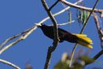 Crested Oropendola (Psarocolius decumanus) [manu_0479]