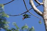 Mealy parrot [manu_0483]