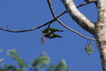 Mealy parrot [manu_0485]