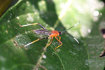Green and orange flat-footed bug [manu_0492]