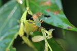 Green and orange flat-footed bug [manu_0494]
