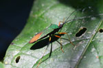 Green and orange flat-footed bug [manu_0497]