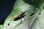 Green and orange flat-footed bug [manu_0499]