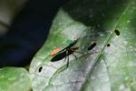 Green and orange flat-footed bug [manu_0501]