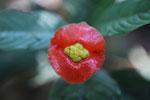 Hot lips flower