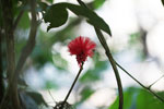 Red flower [manu_0574]