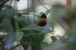 Butterflies feeding on a flower [manu_0629]