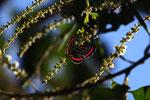 Meneria Metalmark (Amarynthis meneria) [manu_0652]