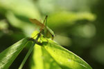 Leaf katydid [manu_0672]
