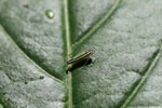 Striped leafhopper (green, yellow, blue and black) [manu_0689]