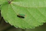 Turquoise and orange leafhopper