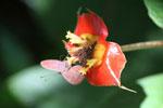 Butterflies feeding on a flower [manu_0708]