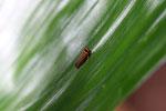 Orange and black leafhopper [manu_0715]