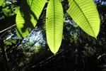 Rainforest canopy leaves [manu_0727]