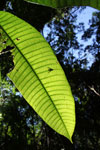 Shadow of a fly on a rainforest leaf