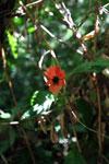 Red hot lips flower