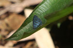 Blue butterfly (Satyr species)