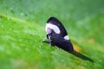 Darth Vader planthopper