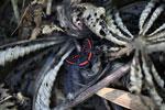 Meneria Metalmark (Amarynthis meneria) [manu_0764]