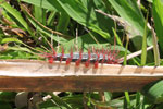 White and black caterpillar with red spines