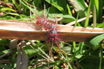 White and black caterpillar with red spines [manu_0774]
