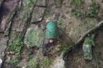 Green cicada [manu_0791]