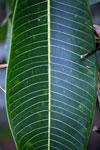 Veins on a rainforest leaf