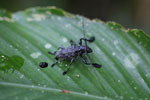 Beetle [manu_0838]