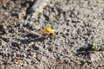 Leaf-cutter ant carrying yellow blossoms