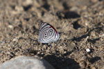 88 Butterfly (Diaethria clymena) [manu_0879]