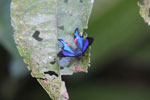 Rhetus periander: iridescent blue butterfly with neon pink spots near its tail