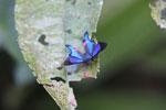 Rhetus periander butterfly - Riodinidae (Metalmarks)
