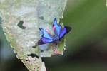 Rhetus periander: bright metallic blue butterfly with neon pink spots