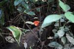 Reddish-rusty fungi