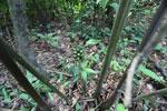 Green flower buds [manu_0928]