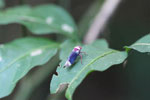 Purple leafhopper with light green and magenta markings [manu_0947]