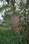 Hanging ant nest