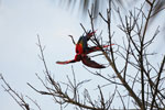 Pair of scarlet macaws playing [manu_0975]