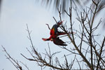 Pair of scarlet macaws playing [manu_0977]